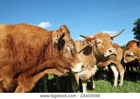 Close Up Limousin Bull Head