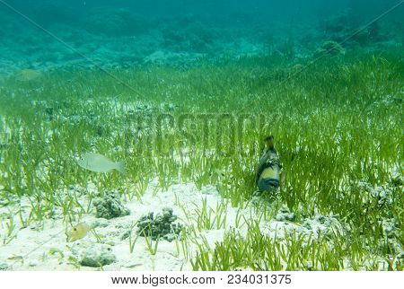 Big Balistidae Marine Fish In Togian Island, Close To Sulawesi, Indonesia