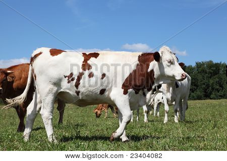 Red And White Holstein Dairy Cow