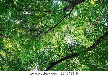 Lush Green Foliage Of Trees And Clear Sky In A Forest. Warm Spring Sun Shining Through The Canopy Of