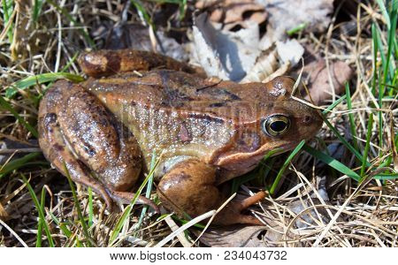 Common Frog In The Wild On The Dry Leaves In Grass . The Common Frog - Rana Temporaria Is A Semi-aqu