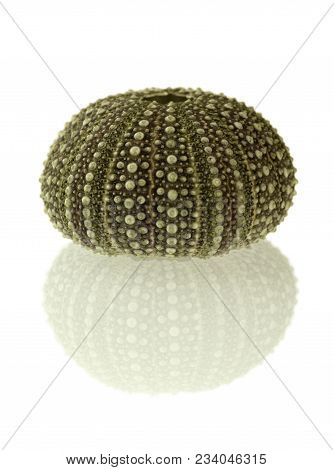 Test (hard Shell) Of A Green And Regular Sea Urchin (echinoidea) And Reflection Isolated Over A Whit