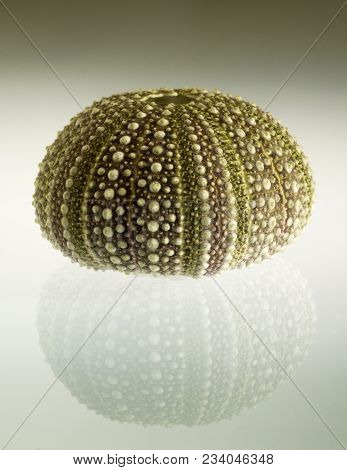 Test (hard Shell) Of A Green And Regular Sea Urchin (echinoidea) And Reflection Over A Gradient Back