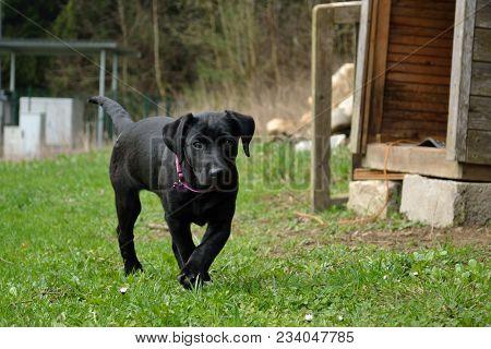 Black Dog Puppy Curiously Explores The Terrain - Closeup Labrador Puppy
