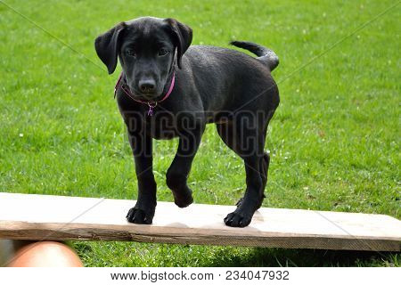 Black Dog Puppy Struts Over Obstacle - Close-up Labrador Puppy In Dog School