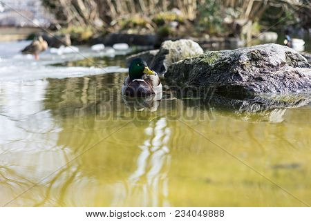 Mallard Duck, Mallard Anas Platyrhynchos, With Green Head In Pond