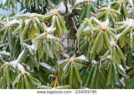 Rhododendron Leaves And Bud Frozen In Ice After Frozen Rain