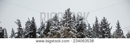 Christmas or winter concept. Forest with snow at top of trees, misty sky background. Panoramic view, banner.
