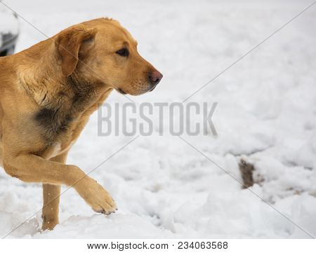 Dog walks at winter time in white snow. Half front body. Snowy background, close up view, space for text.