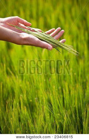 Symbolic gesture suggesting fertility, plenitude, health. Woman hands holding unripe barley ears in a lovely barley field lit by summer sunshine