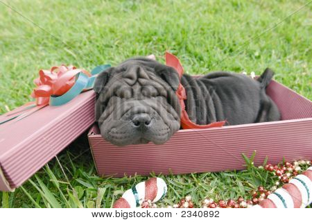 Sharpei In Box