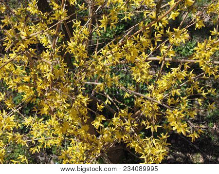 Yellow Forsythia (forsythia X Intermedia) Flower Aka Border Forsythia Flower Bloom