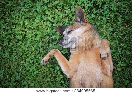 cute chihuahua rolling around in green grass