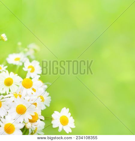 Beautiful Nature Summer Background With Soft Focus. Daisies Flowers Wallpaper. Bouquet Of Flowers Ch