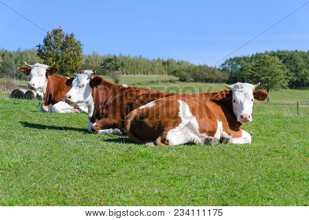 Free And Happy Cows Are Resting And Lying On A Green Mountain Pasture In Sunny Day.