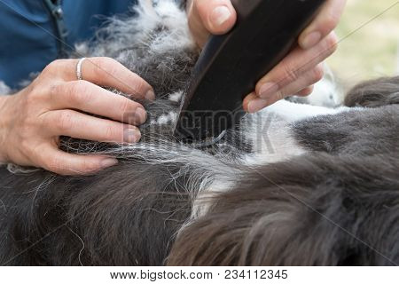 Closeup View Of The Professional Grooming Of Felted Hair Coat Of The Border Collie Dog. All Potentia