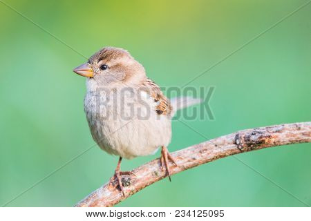 Female Passer Hispaniolensis Or Gorrion Moruno With Copy Space For Text