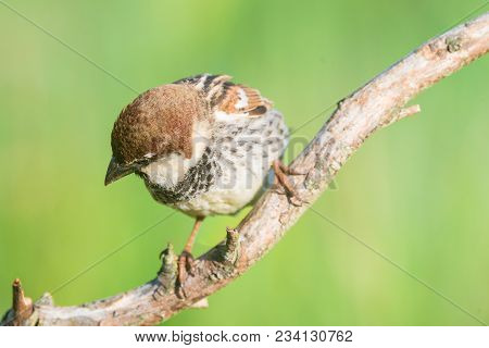 Spanish Sparrow, Passer Hispaniolensis, Single Male Perched On Branch