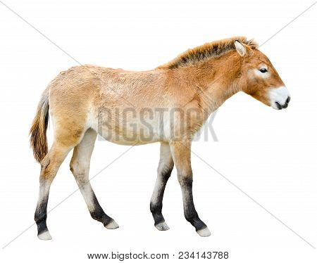 Horse Isolated On White. Young Przewalski Horse Or Dzungarian Horse Full Length.  Zoo Animals. Wild