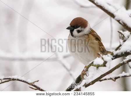 Tree Sparrow Is A Winter Feeding Place