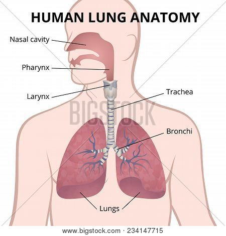 Image Of The Anatomy Of The Lungs, The Location Of The Internal Organs Of Respiration In The Human B