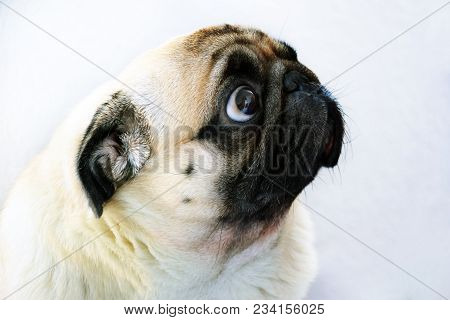 Portrait Of A Cute Pug Dog With Big Sad Eyes And A Questioning Look On A White Background, Beige Pug