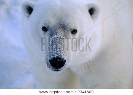 Polar Bear Head Shot