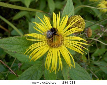Bumblebee On An Inula Orientalis