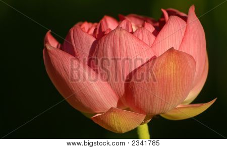 Large Reddish Pink Lotus Flower