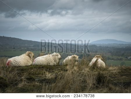 Animals And Nature, Sheep Farming On Rural Pasture With Overcast Sky