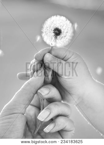 Mum And Child Hold Dandelion By The Hands And Are Going To Blow Off His Flying Seed
