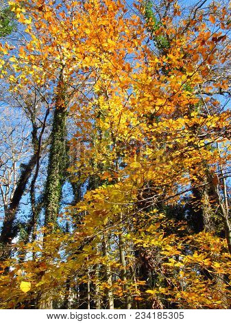 Bright Yellow Hickory Tree In The Fall