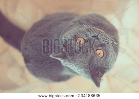 Home Favorite Animal. British Cat. A Cat With Big Eyes. Lovely Domestic Pet. Attentive Look. A Beaut