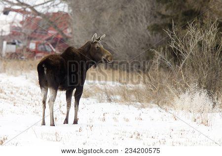 Prairie Moose Canada In Winter Saskatchewan Canada