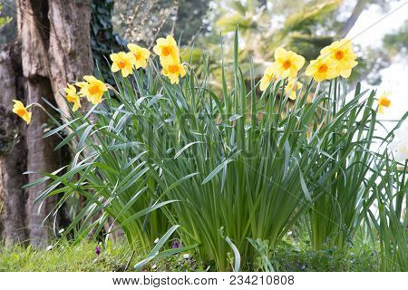 Narcissus Flower Also Known As Daffodil, Daffadowndilly, Narcissus, And Jonquil. Background Beautifu