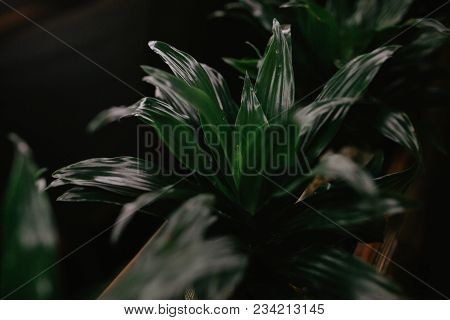 Green Leaves Of Monstera Plant Growing In Wild, The Tropical Forest Plant, Evergreen Vine On Black B