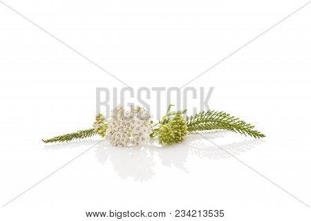 Medicinal Plant Yarrow Isolated On White Background. Achillea Millefolium, Medicinal Plant.