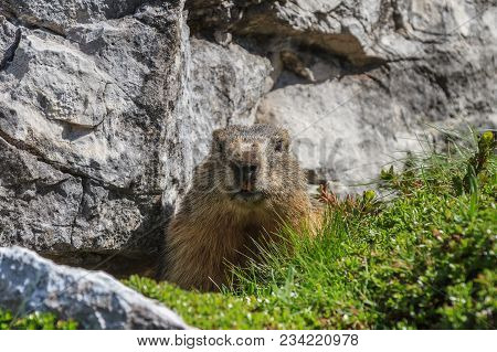 Alpine Marmot (marmota Marmota) On Rock. Dolomite Alps, Italy