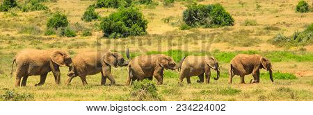Panorama Of Five Elephants Walking In A Row In Addo Elephant National Park, Eastern Cape, 70 Km From