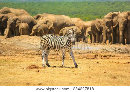 A Zebra On The Foreground And Group Of Numerous Elephants On The Background. Addo Elephant National