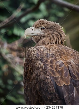 The White-tailed Eagle (haliaeetus Albicilla), Also Known As The Ern, Erne, Gray Eagle, Eurasian Sea