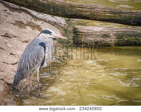 Grey Heron Near Water (ardea Cinerea) Is A Long-legged Predatory Wading Bird Of The Heron Family, Ar
