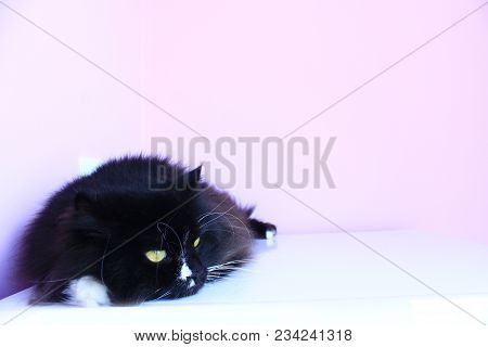 Black Cat Laying On Pink Tender Background. Domestic Pet Having A Rest. Domestic Animal. Place For A