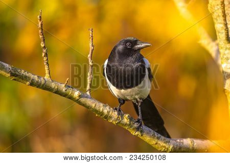 Eurasian Magpie Or Common Magpie (pica Pica) Looking In Camera On Branch With Autumnal Colored Backg