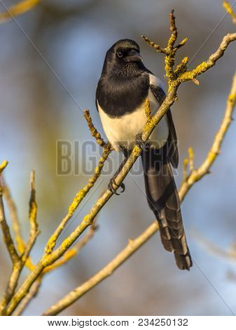 Eurasian Magpie Or Common Magpie (pica Pica) Looking Right On Branch Lit By Setting Sun With Blue Sk