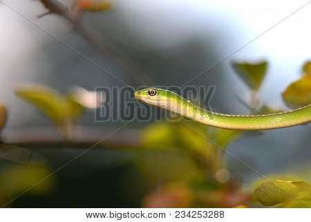 A Rough Green Snake Stretching From One Branch To The Next While Wavering Back And Forth To Mimic A