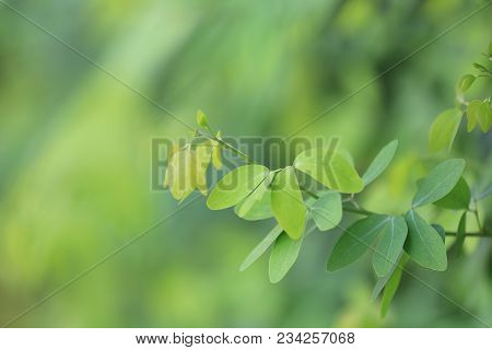 Green Leaves Of Tamarind In The Garden For Design Nature Background In You Work,soft Focusing On The