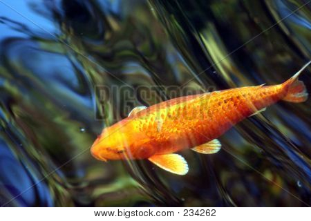 Golden Koi In Blue Pond
