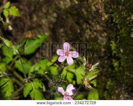 Flower Of Herb Robert Or Geranium Robertianum Close-up With Bokeh Background, Selective Focus, Shall