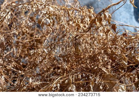 Autumn Dry Grass. Twisted Branches Of Grass, Close-up